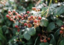 Wild Raspberries And Blackberries In The English Countryside