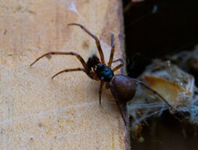 Closeup Of A Steatoda Spider Crawling On The Wall