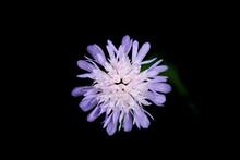 Purple Pincushion Flower On A Dark Black Blurred Background