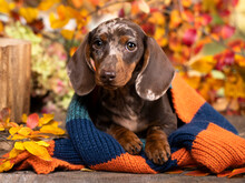 Dachshund Puppy Chocolate Merle Color In Autumn Park