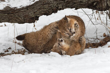 Female Cougars (Puma Concolor) Wrestle Together In Snow Winter