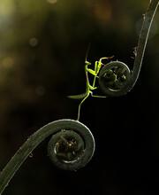 Grasshopper On Fern Leaf
