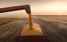 Pouring Corn Grain Into Tractor Trailer.