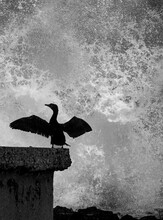 Cormorant Spreads Its Wings On The Pier With The Moon Over The Sea