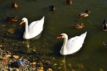 Ducks And White Swans Swim In An Autumn Pond In October