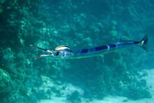 Houndfish Or Crocodile Needlefish Tylosurus Crocodilus -Red Sea