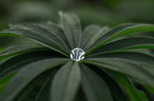 Summer Background With Beautiful Fan-shaped Lupine Leaves. Lupine Leaves In Drops After Rain.