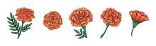 Set Of Cute Vector Marigold Flower. Hand-drawn Vector Illustration For El Dia De Los Muertos. . Vector Illustration