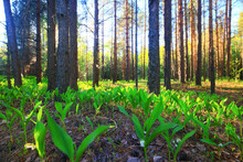 Lilies Of The Valley Landscape In The Forest Background, View Of The Forest Green Season