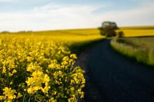 Road In A Rape Field In The Countryside