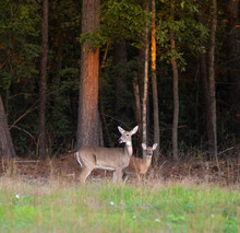 Whitetail Doe And Yearling