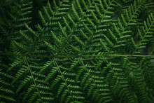 Green Fern Leaf As Background, Top View