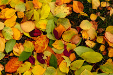 Colorful Leaves, Red, Golden, Yellow, Green Background And Texture Of Autumn Leaves. Autumn, September, October, November, Halloween
