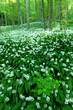 canvas print picture - Mass blossoming of wild garlic