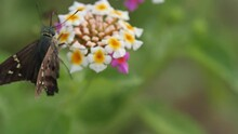 Long Tailed Skipper Butterfly On A Lantana
