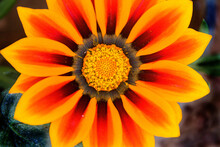 Closeup Shot Of A Bright Gazania Flower With Orange And Yellow Petals Against A Blurred Background