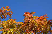 Natural Autumn Background. Close-up On Tree Branches With Yellow And Red Leaves Against The Blue Sky.