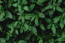 Fresh Garden Mint Leaves