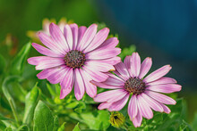 African Daisy In Bloom