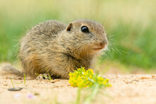 European Ground Squirrel (Spermophilus Citellus) An Adorable Furry Mammal Living In The Fields. Detailed Portrait Of A Wild Cute Animal Sitting In The Grass With Soft Green Background. Czech Republic