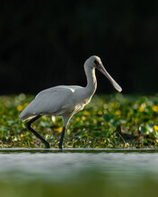 Eurasian Spoonbill (Platalea Leucorodia) A Beautiful Waterbird Standing In The Water Of A Muddy Lake. Detailed Portrait Of A Spoonbill In Its Habitat. Wildlife Scene From Nature. Hungary