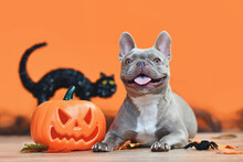 Happy Halloween French Bulldog Dog With Carved Pumpkin, Autumn Leaves And Black Cat In Orange Background