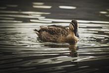 Country Goose Swimming