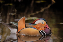Beautiful Mandarin Duck Swimming On Water Has Reflection