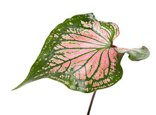 Caladium Bicolor With Pink Leaf And Green Veins, Pink Caladium Foliage Isolated On White Background, With Clipping Path