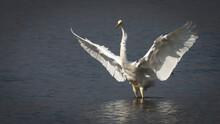Egret Flying Catching Fish On The River