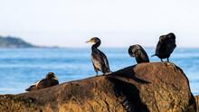 Shorebirds - Great Cormorants & Common Eider