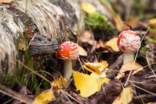 Two Young Little Fly Agaric Mushroom In Fall Forest With Yellow Leaves. Amanita Muscaria In Autumn Nature