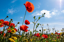 A Meadow Full Of Pretty Red Poppies And Lovely Yellow Daisies During Spring