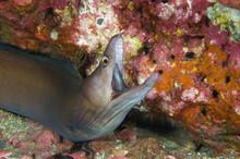 Closeup Shot Of A Moray Eel Against A Coral
