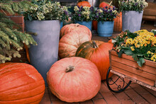 Autumn Colorful Composition With Orange Pumpkins And Flowers In Pots For Decoration Yard