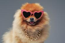 Purebred Pomeranian Dog With Fluffy Orange Fur And Sunglasses