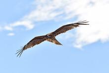 鳥, フライング, フライト, 自然, タカ, 空, 野生生物, ワシ, 動物, 鳶、トンビ