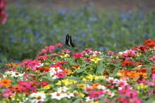 蝶, 花, むし, 自然, サマータイム, マクロ, 動物, 庭, 羽, 美しさ, 植える, 野生生物, オレンジ, 花, 蠅, アップ, とぶ, 羽, 美しい, 黄色, 色, 葉, ピンク, 植物, 動物相、アゲハ蝶、アオスジアゲハ