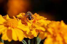 Bee On An Orange Marigold Flower