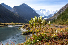 White Gentian Riverside Flowers Growing In The Field Against A Background Of The Altai Mountains