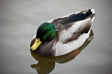 A Well-fed, Beautiful Drake, A Male Mallard With Green Plumage And A Yellow Beak Swims Calmly On The Surface Of The Water. Wild Breeds Of Birds Tamed By Man.