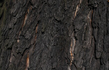 Chestnut Bark With Visible Details. Background Or Textura