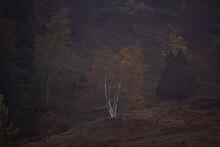Weisse Baum