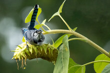 Bird On Sunflower Plant