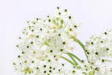 Spring Background With Arabian Star Flower (ornithogalum Arabicum)