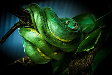 Snake On A Branch. Exotic Reptile