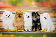 Five Fluffy Pomeranian Spitz Dogs Sitting On A Bench Together In Autumn