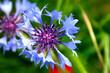 canvas print picture - Fleur de Bleuet (Centaurea cyanus). Département du Vaucluse