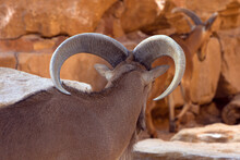 Mountain Goat Brown With Rocks. Barbary Sheep With Big Horns