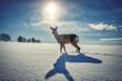Sarna zimą na polu